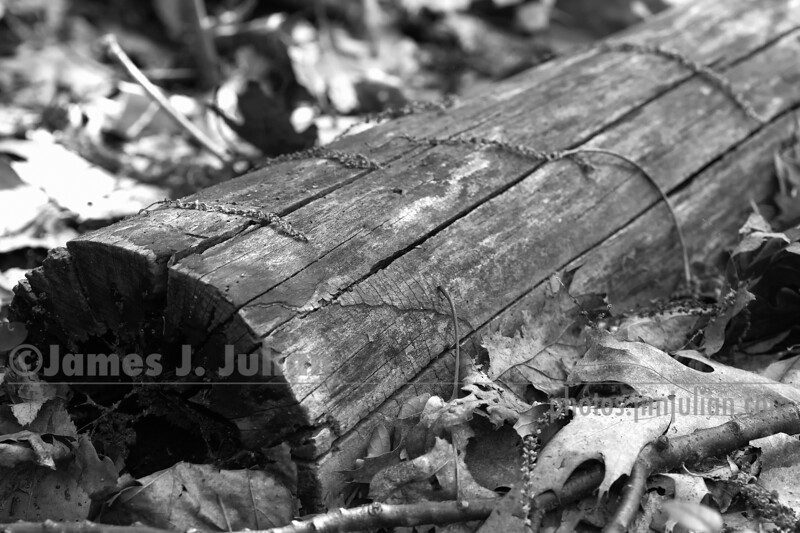 Log on Leaves BW