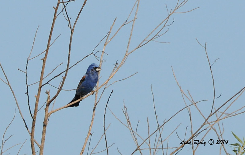 Blue Grosbeak - 5/25/2014 - San Pasqual Agricultural Trail