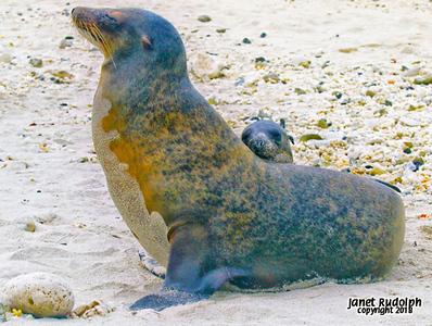 Sea lion mama and baby S.jpg
