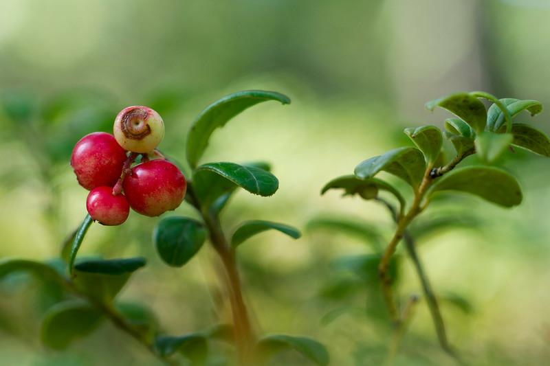 Vaccinium vitis-idaea in Ruissalo forest