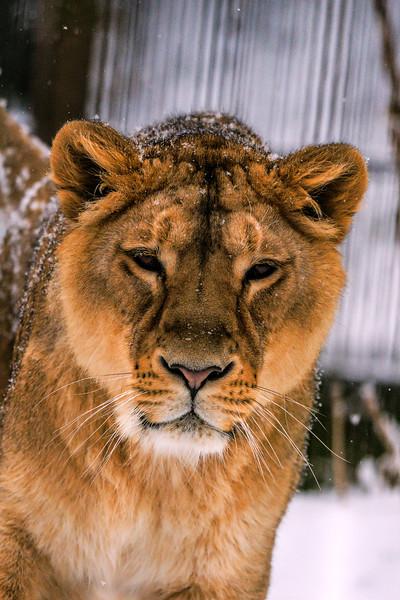 Asian Lion - Aasianleijona - Panthera leo persica