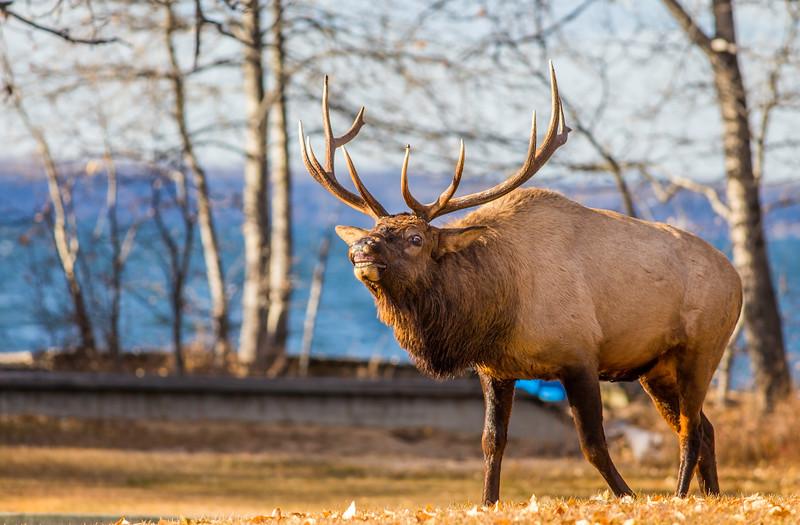 Waskesiu Elk Rut October 27-18.jpg