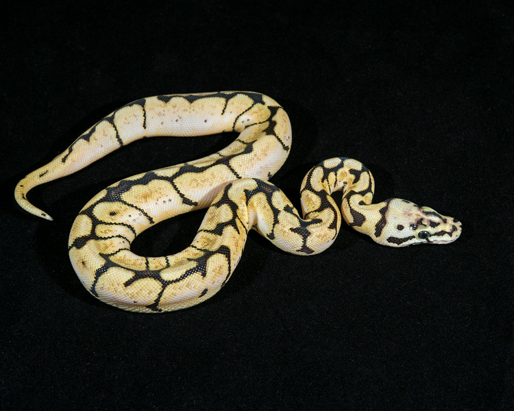 Bumble Bee F1014, sold HERPS show