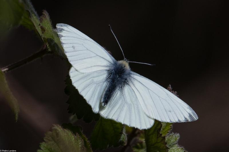 Orange-Tip Butterfly - Female