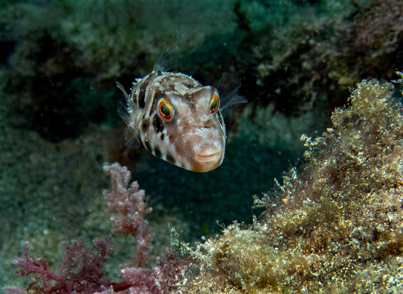 Face to Face with a Puffer