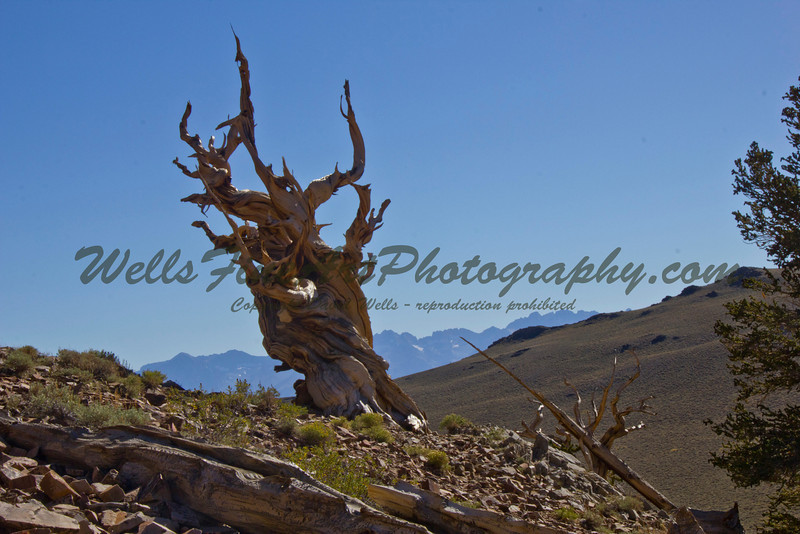Bristlecone Pine and Sierras