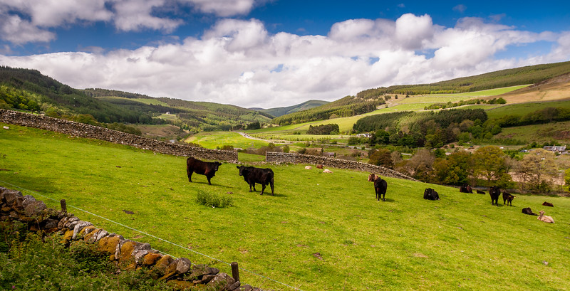 Cows in the Southern Uplands