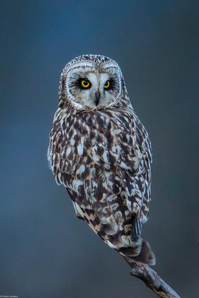 Short Eared Owl 43.jpg