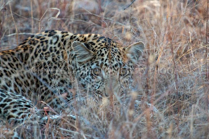 LeopardHiding.jpg