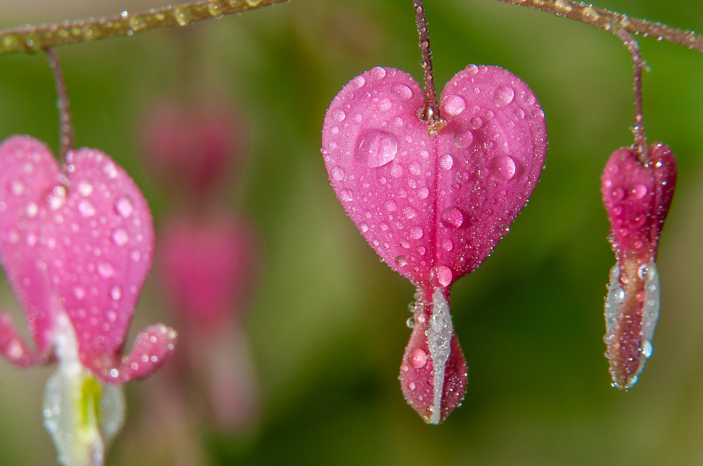 Macro Bleeding Heart with water droplets