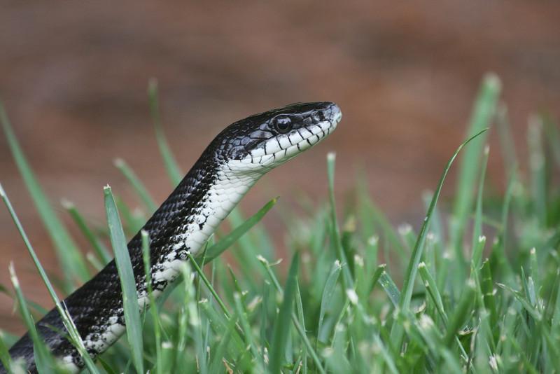 Snake_0035