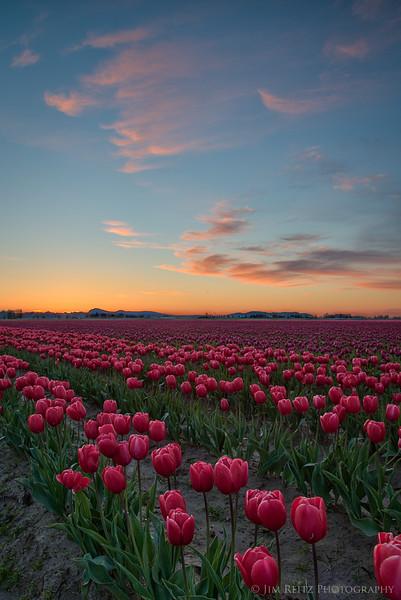 Tulips and Orange Wisps