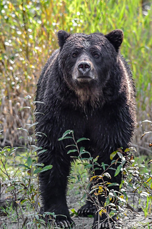 9-28-19 Grizzly Bears Part 3 of 5 Bella Coola