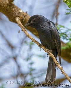 Southern Black-Flycatcher, Kenya