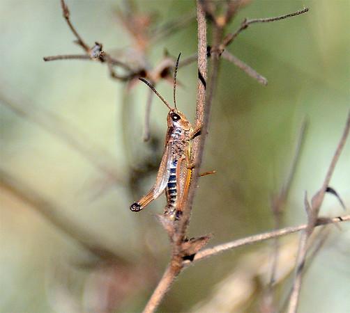 Chorthippus curtipennis (Marsh Meadow Grasshopper)