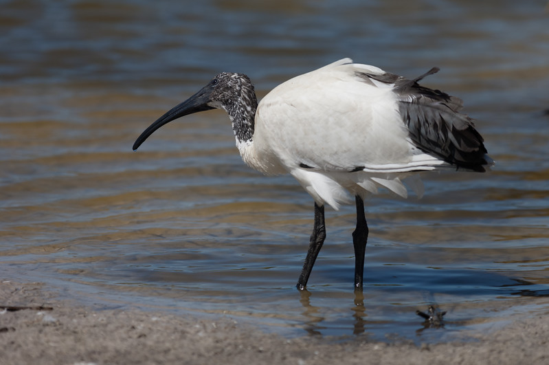 African Sacred Ibis, Rondevlei Nature Reserve, Cape Town