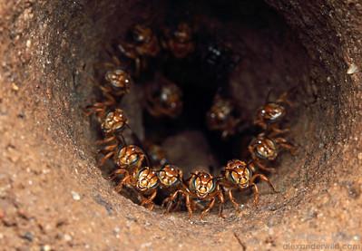 Partamona soil-nesting stingless bees.  Jatun Sacha reserve, Napo, Ecuador