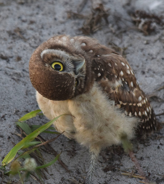A curious Burrowing Owl chick