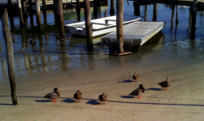 Scotty's Ducks 2.jpg