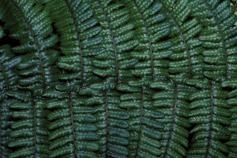 "Dryopteris subbipinnata This image is licensed under the Creative Commons Attribution-NonCommercial 3.0 Unported license.  You may share and adapt this work, but only with attribution (""by Hank L. Oppenheimer"") and only for non-commercial purposes unless permission is obtained from the copyright-holder (contact webmaster@hear.org)."