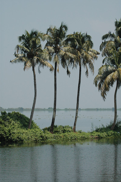 Palm trees along the backwaters of Kerala