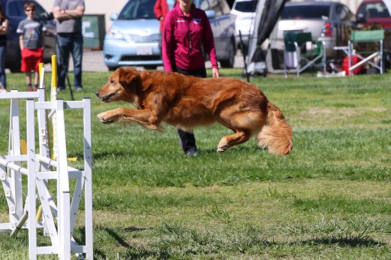 3-31-2018 Shetlant Sheepdog-3316.jpg