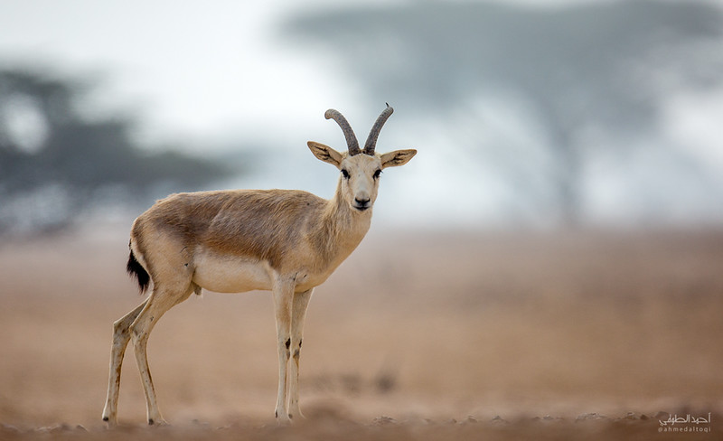 Gazelle (19).jpg