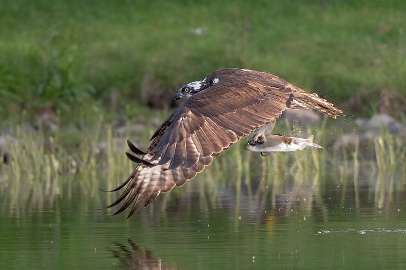 #1615 Osprey