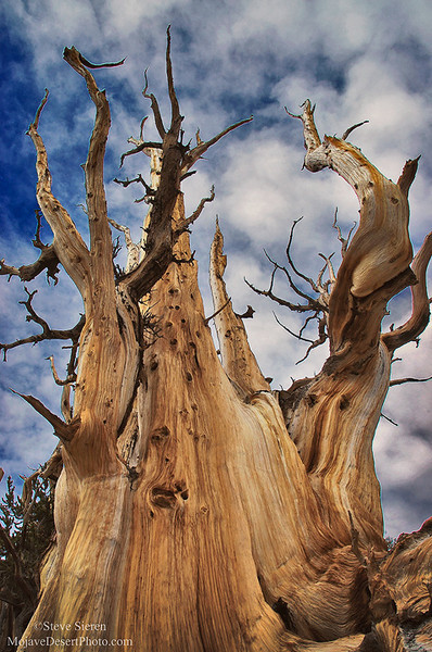 Weathered bristlecone pine tree in the White Mountains