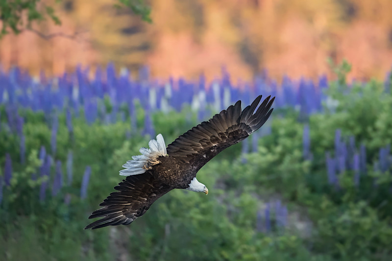 #1161 Eagle and Lupines