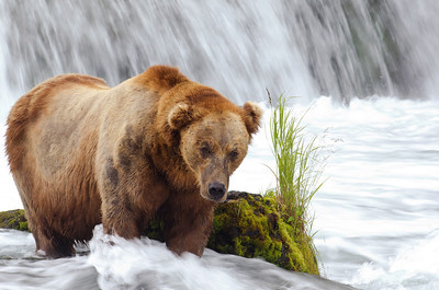 Large adult brown bear in a steam