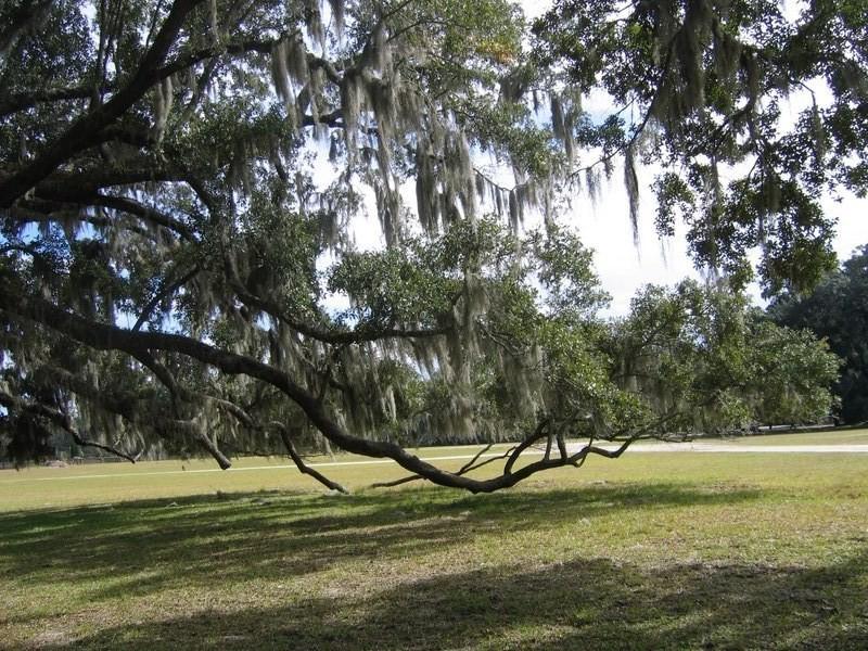 live oaks.jpg