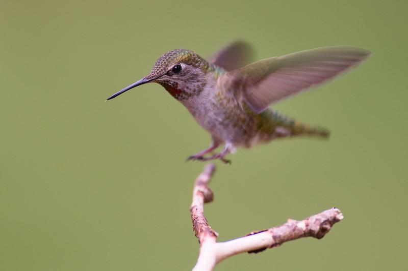 Anna'sAnna's Hummingbird