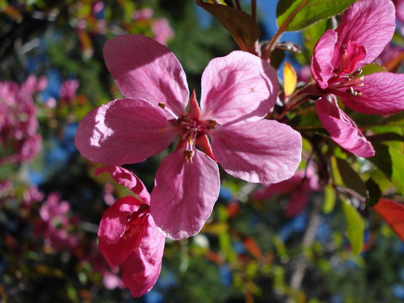 Crabapple flower 06-22-2010