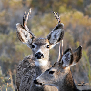 Deer  Elk  Goats Bighorn Sheep