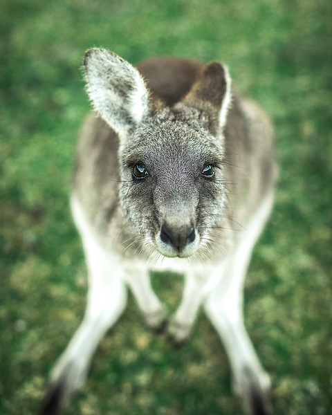 2G2A3892-Edit- Callum Snape - Kangaroo.jpg