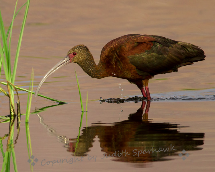 White-faced Ibis in the Reeds