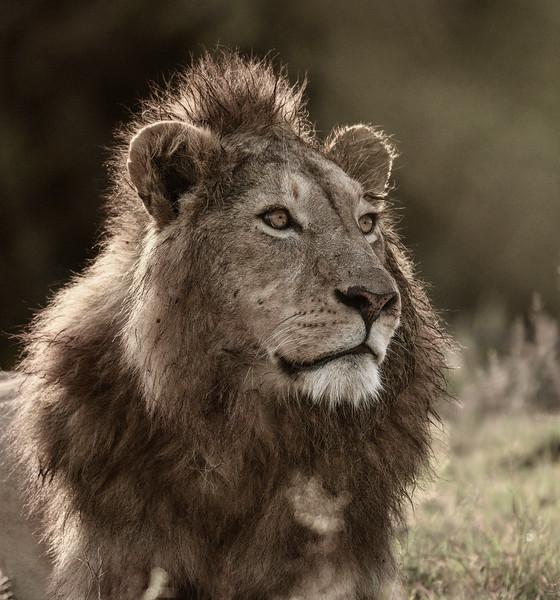 Lion-majestic-Ngorongoro-Tanzania-2.jpg