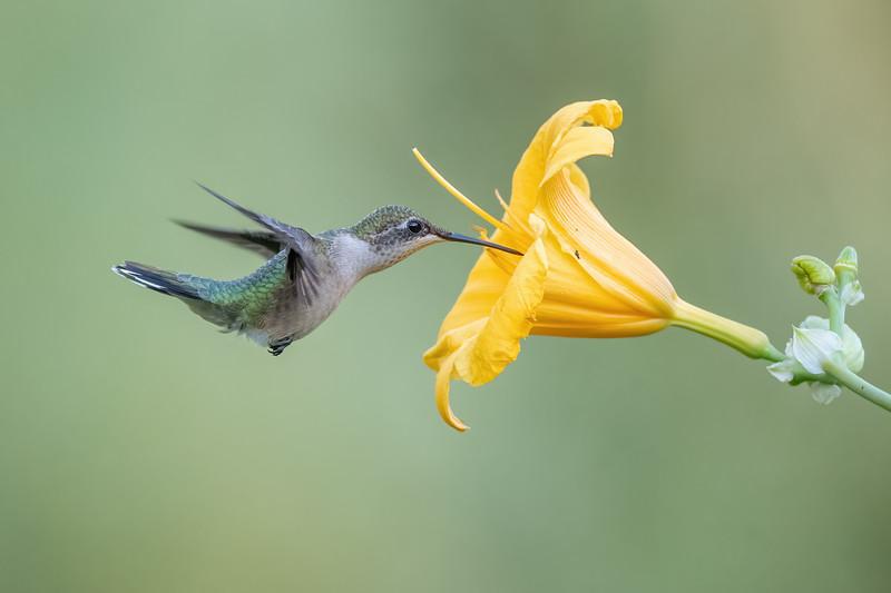 #1715 Ruby-throated Hummingbird