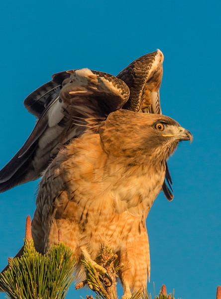 Falcon-.jpg