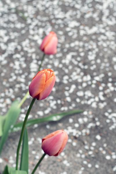 tulipsnpetals3.jpg