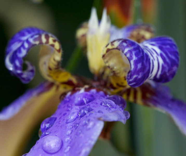 raindrops on tropical iris