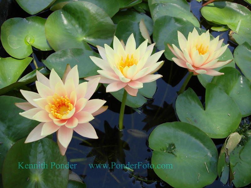 Yellow and pink lilies in a goldfish pond.