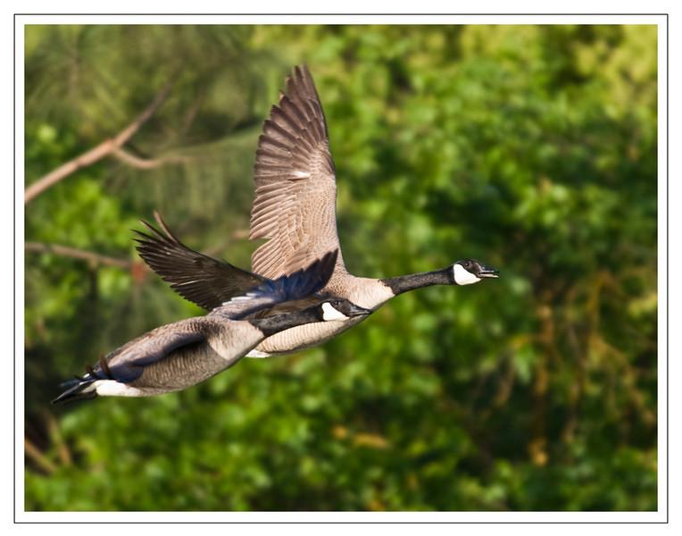 Two Geese8972.jpg