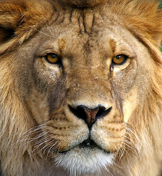 Lion-A27,03.jpg