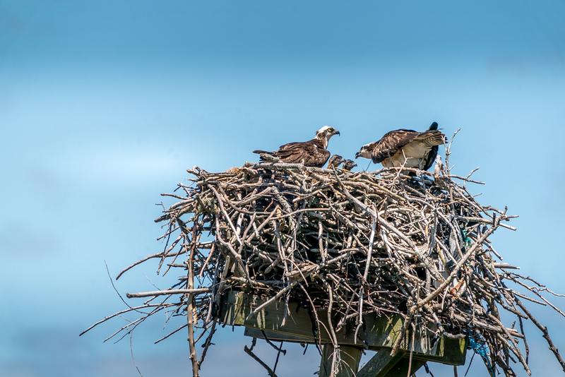 6-7-20 ospreys-9.jpg