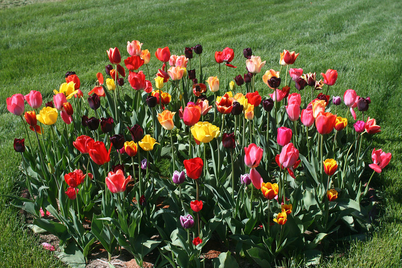 Tulips 2011 016.JPG