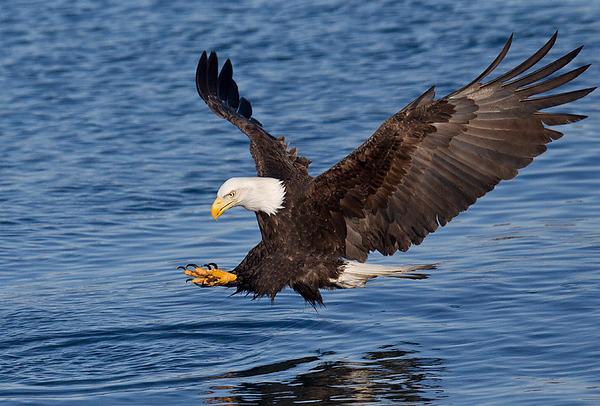 Bald Eagles Homer Alaska March 2020
