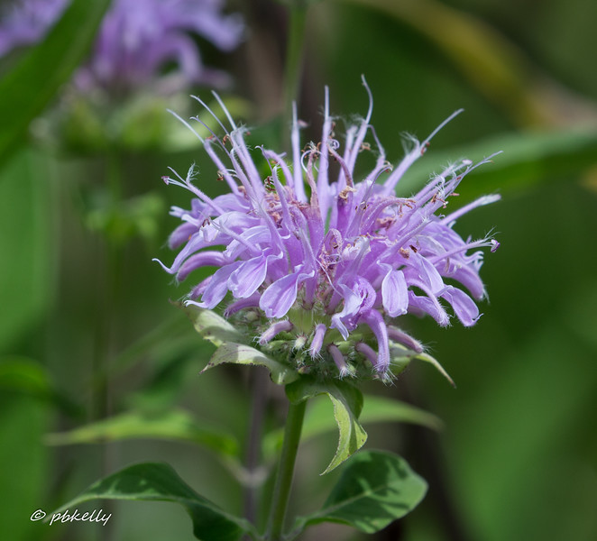 Wild Bergamot flower, Monarda fistulosa.  This was a new observation this year.