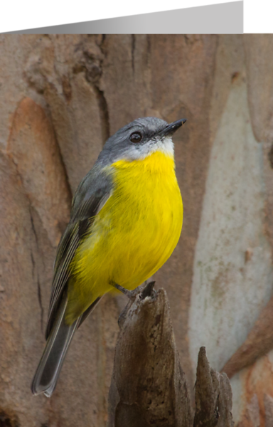 Eastern Yellow Robin2.png